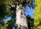 Ancient Kauri tree at Hokianga.